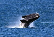 Souther Right Whale