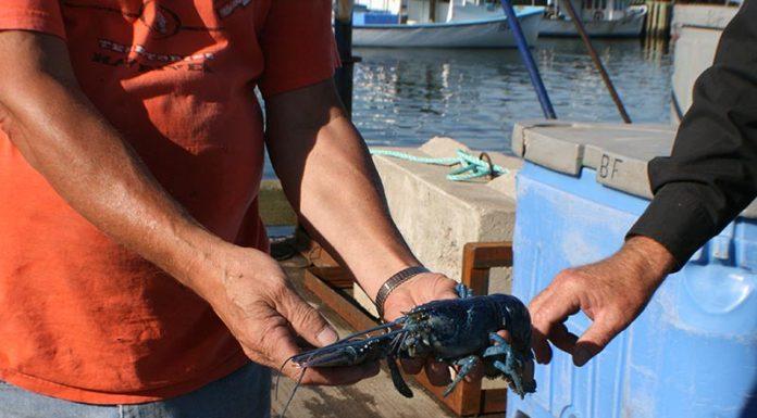 NB-Blue-lobster-SA-01